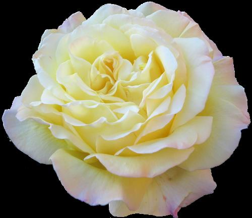 Flower Black And White Transparent Png Pictures: PNGs De Flores Diversas LacreMania