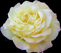 Flor rosa branca png