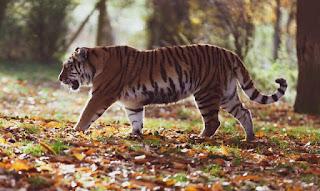 Harimau Jawa Panthera tigris sondaica