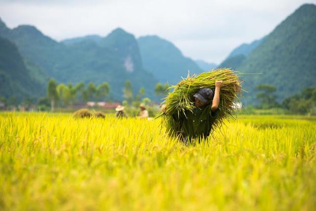 Ý nghĩa của giấc mơ thấy lúa - soicauxsmb.com