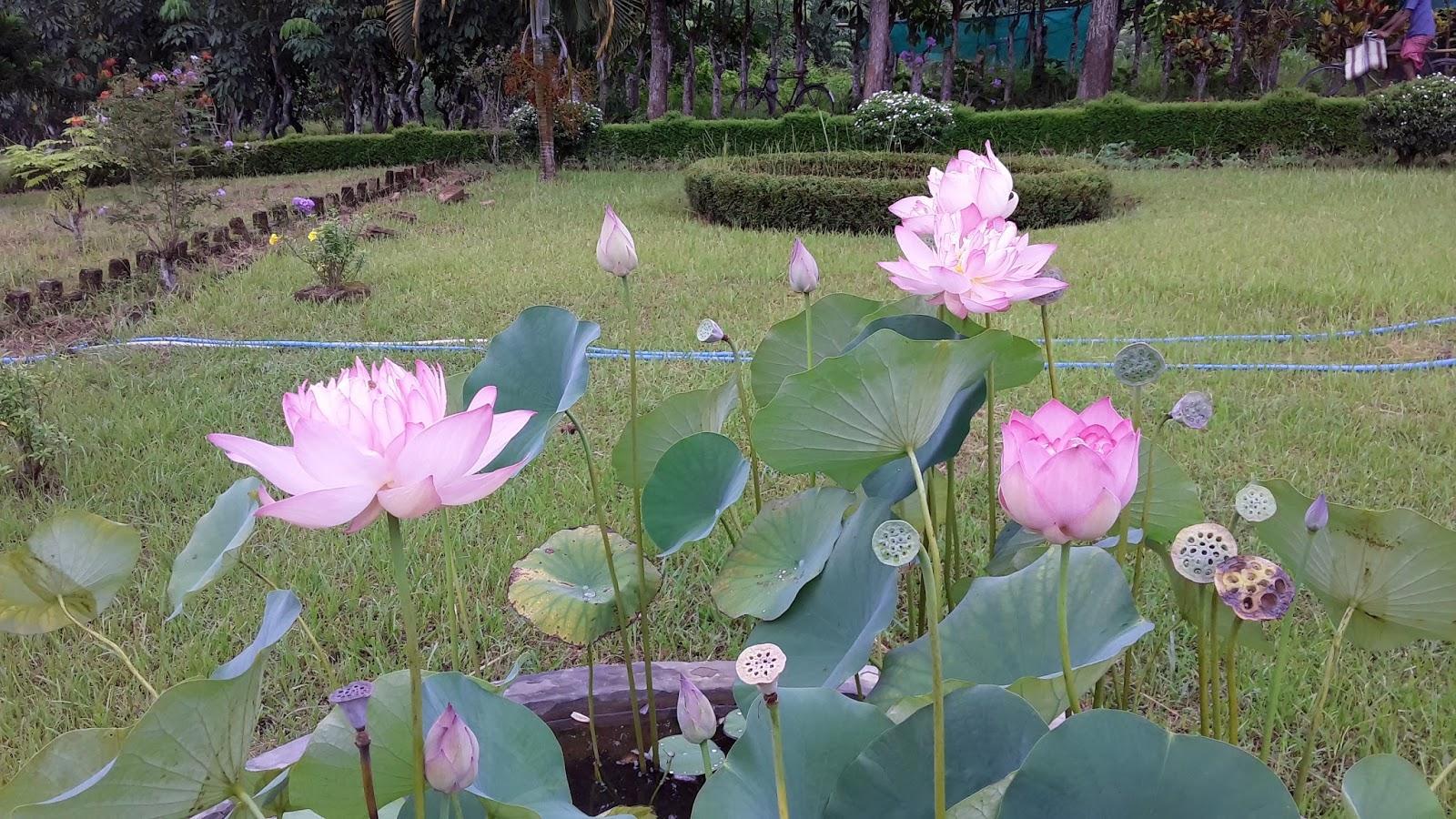The Lotus Planet Growing A Lotus
