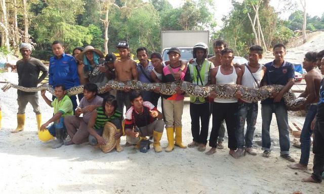 Μαλαισία: Έπιασαν πύθωνα - τέρας μήκους 8 μέτρων και 250 κιλών!