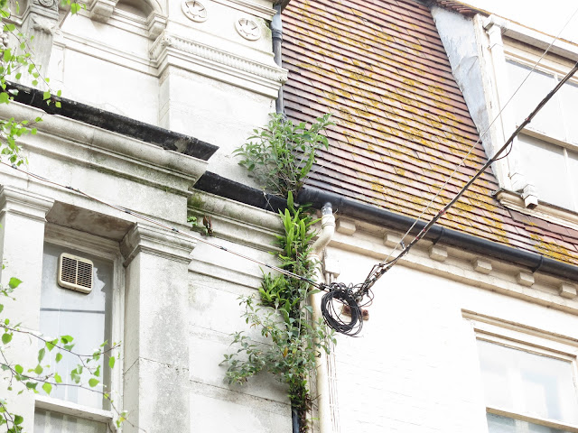 Hart's Tongue Ferns and Buddleia grouwing out from behind drainpipe high on building.