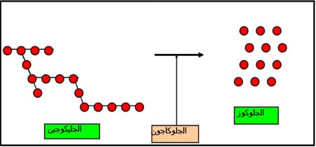 تحويل الجليكوجين إلى جلوكوز