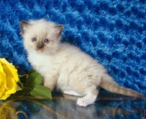 The Oman Cats and kittens Adoption and sales email us at (petsshome