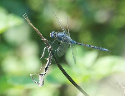 Long Skimmer (Orthetrum trinacria)