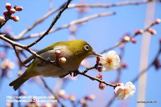 梅の花を吟味するメジロの写真