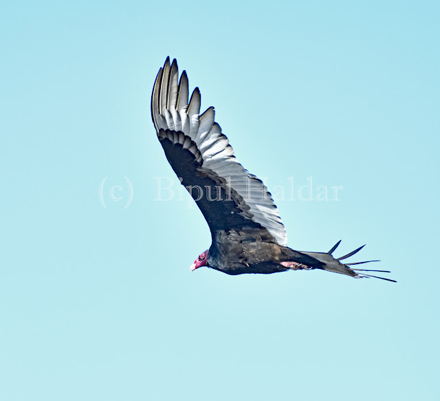 Turkey Vulture Hovering in the SKY