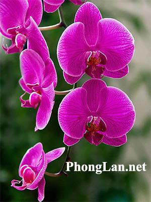 PhongLan.net