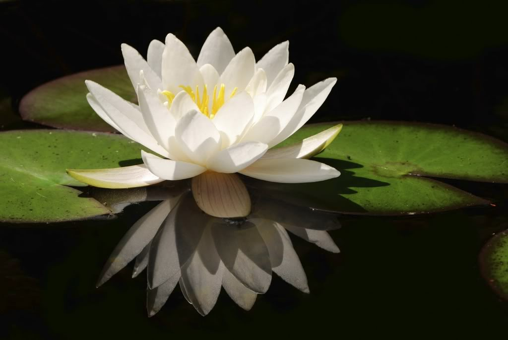 Inspirational White Lotus Flower Images Top Collection Of