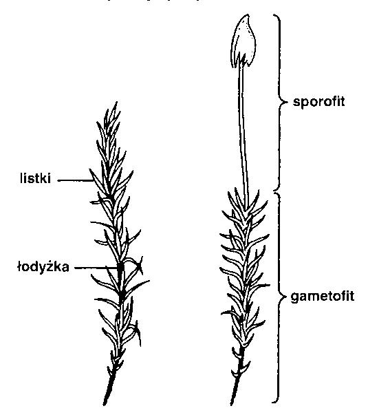 Biologia Ogolna Mchy Bryopsida