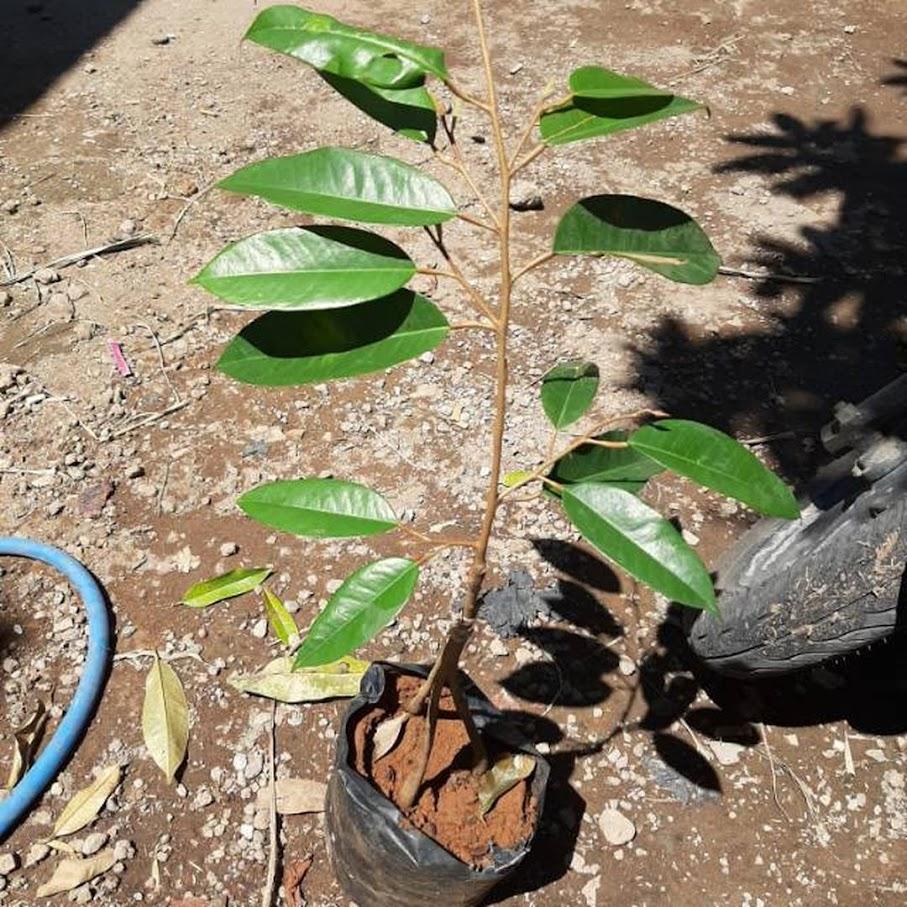 Bibit durian bawor kaki 3 Pagaralam