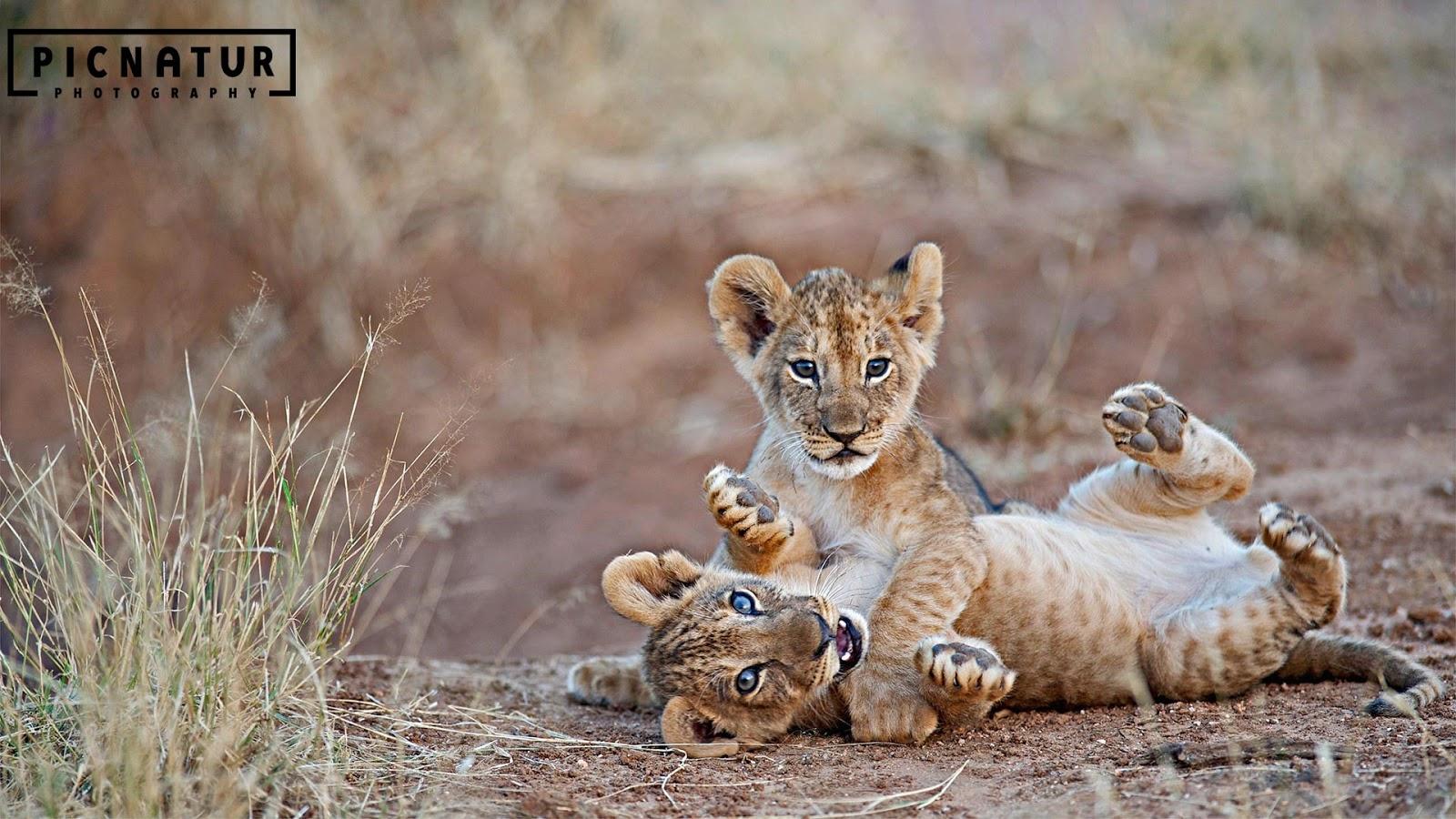 Lion cubs wrestling in Samburu National Reserve, Kenya