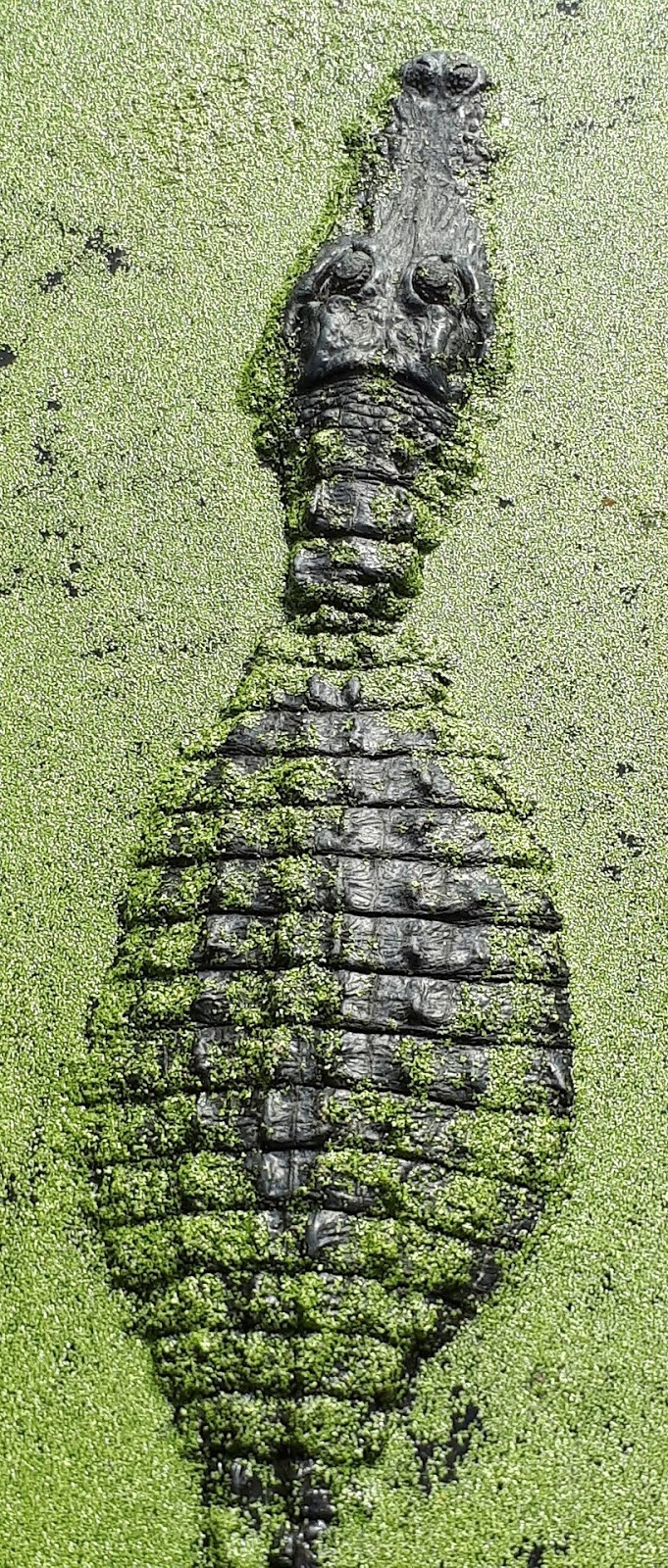 A well-camouflaged crocodile.