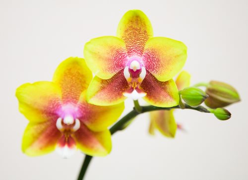 Orkide dalları