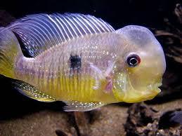 Balzani 17cm ikan hias air tawar