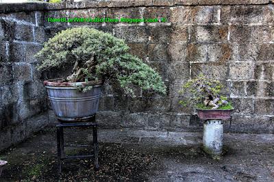 Bonsai, Garden, Baluarte de San Diego, Intramuros, Manila, Philippines