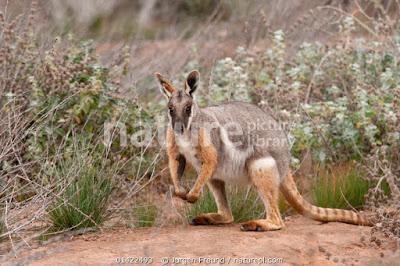 Wallaby rocoso piernas amarillas (Petrogale xanthopus)