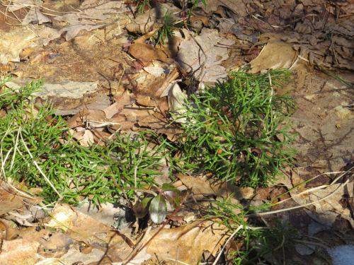 Northern Ground Cedar