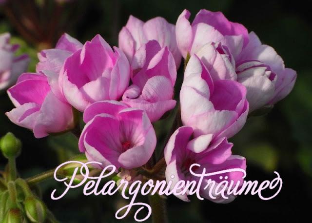 Zwergpelargonie-Zwerggeranie-Tulpengeranie-rosa-violett