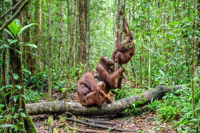 orang utan di hutan kalimantan tengah
