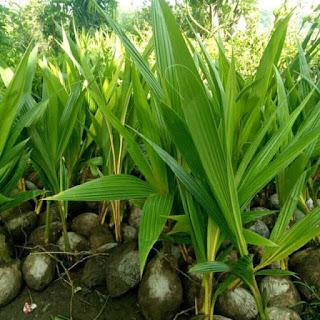 bibit-kelapa-entog.jpg