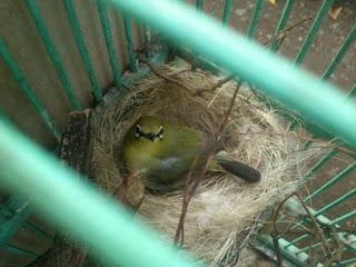 Penangkaran Burung Plei - Kendala - Kendala yang Sering Saya Temui Diawal Breeding Burung Pleci