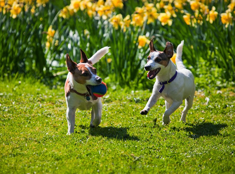 Two JRTs play fetch on the lawn near daffodils in Spring