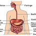 Sistema Digestório - órgãos e funções