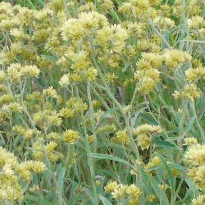 flores de Marcela