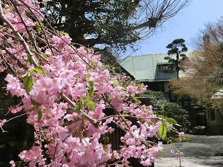 旧華頂宮邸の枝垂れ桜