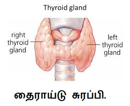 Thyroid gland right and left