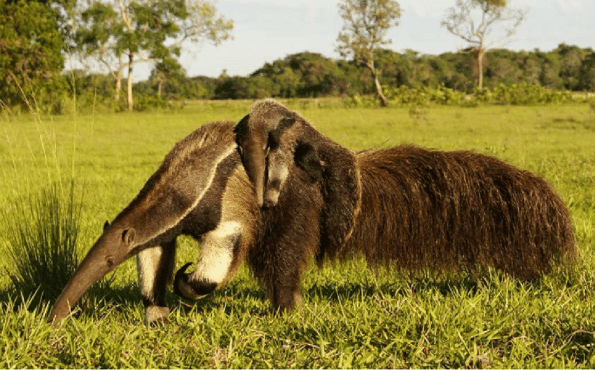 Tamanduá-Bandeira (Myrmecophaga tridactyla)