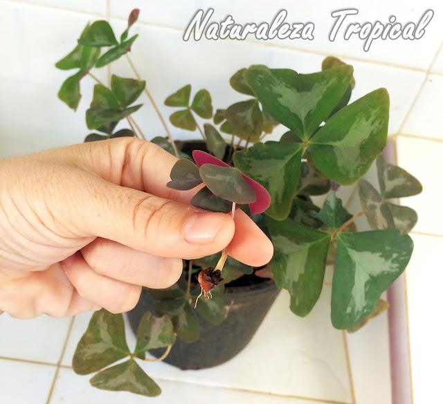 Pequeño bulbo de dos semanas un Falso Trébol o Flor de Oca florecida con dos hojas listo para la multiplicación, género Oxalis