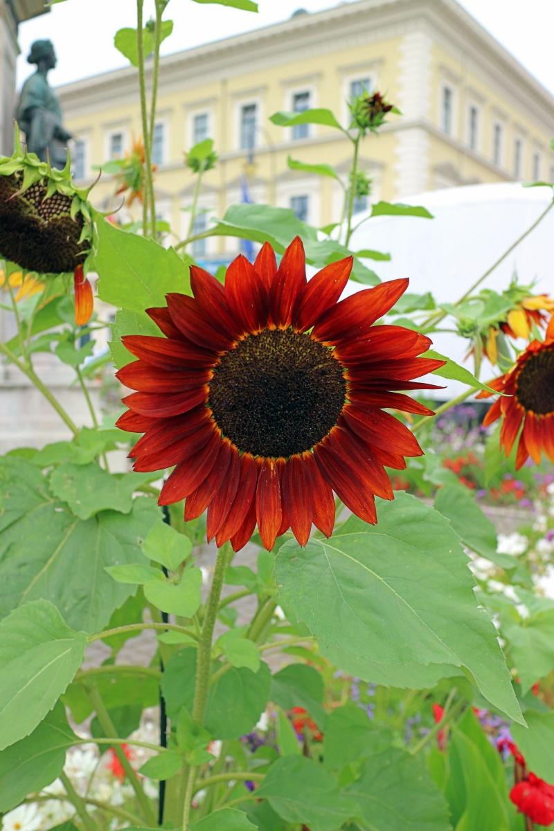 Sonnenblume in München