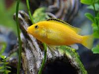 Peluang Usaha Budidaya Ikan Lemon