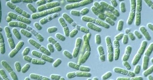 economic importance of cyanobacteria science solve