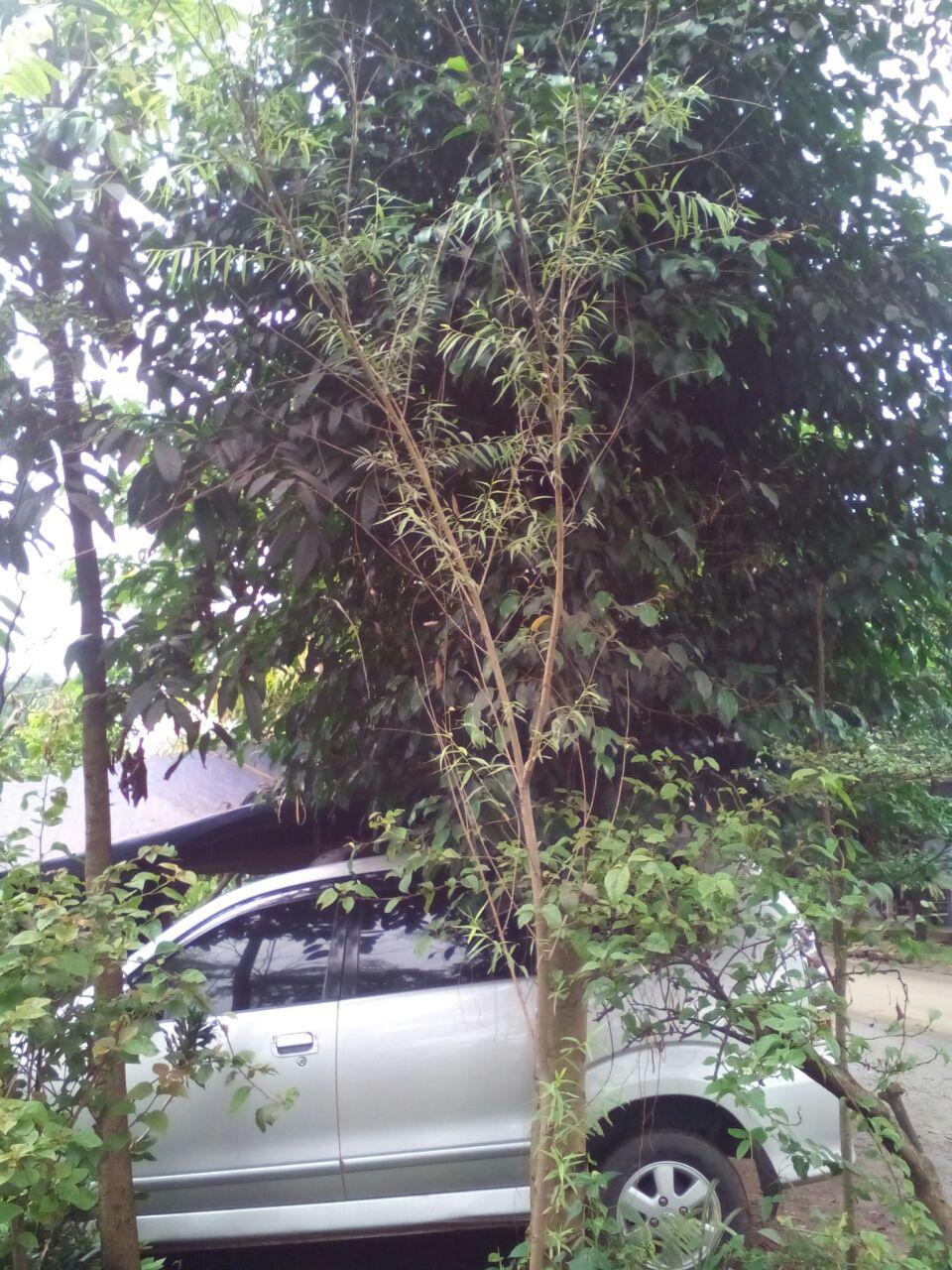 Tukang Taman Murah Jual Pohon Liang Liu Pohon Janda Merana Tanaman Menjuntai Tanaman Hias Pohon Pelindung Pohon Peneduh
