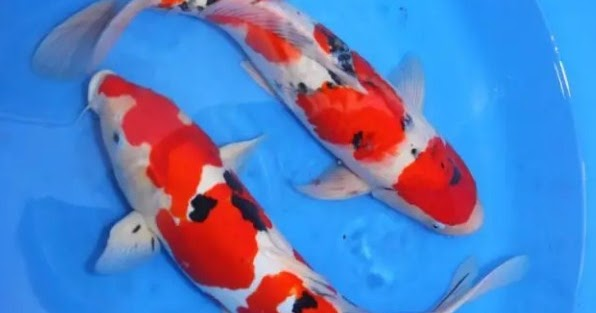 Ikan Koi No Togel