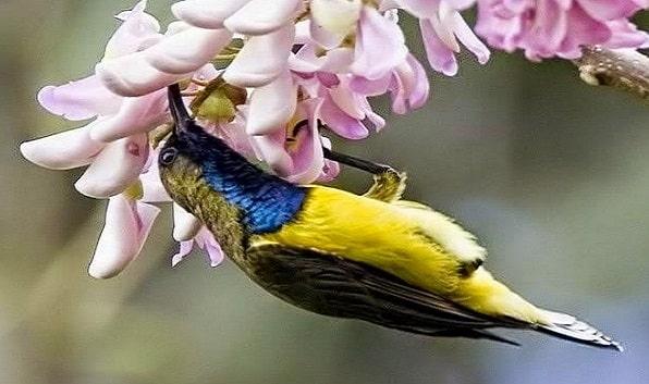 Perawatan Bulu Burung Sogok Ontong