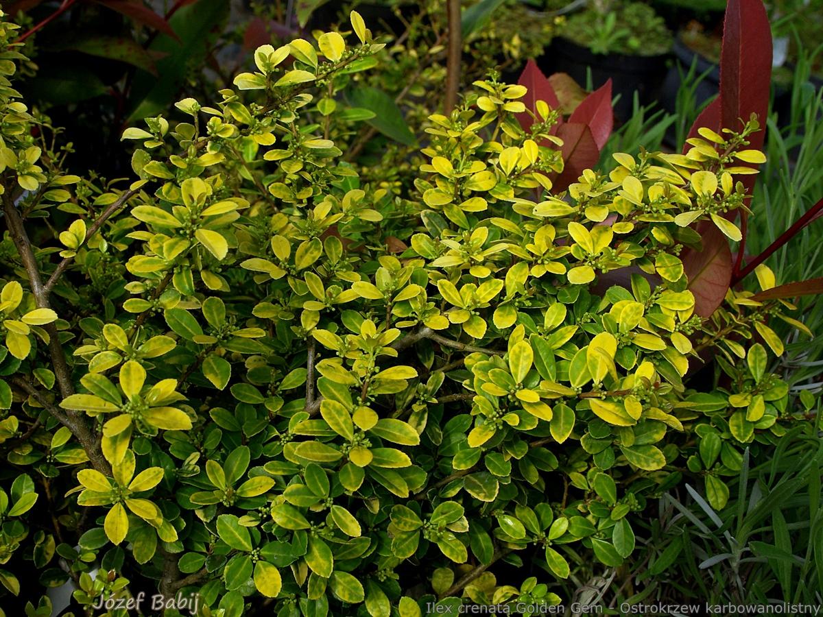 plant gallery encyklopedia ro lin ilex crenata golden gem ostrokrzew karbowanolistny. Black Bedroom Furniture Sets. Home Design Ideas