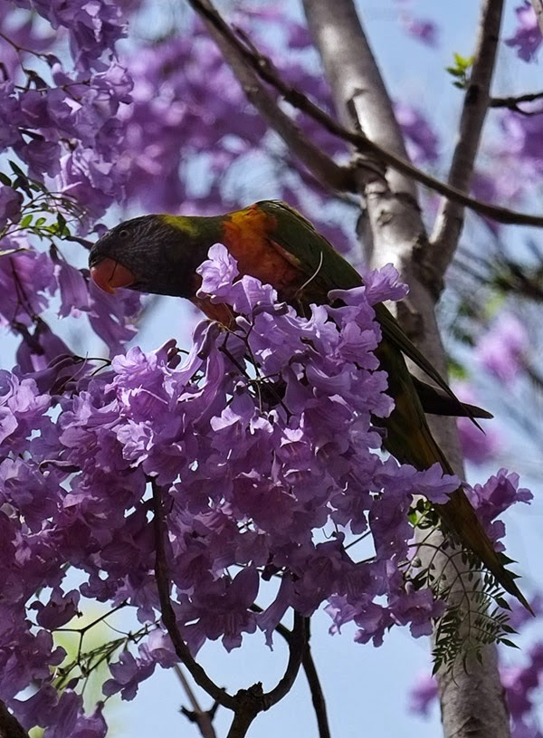 A Rainbow Lorikeet in the Jacaranda tree on location.