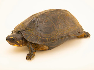 merawat-kura-kura-pipi-putih.jpg