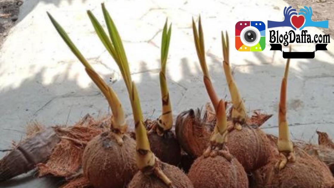 memilih bibit kelapa berkualitas