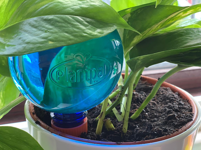 Close up of  large blue Plantpal plastic globe in a plant pot