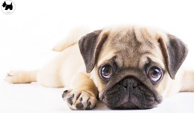 Cutest Dog Breeds, Best Dog, Pug Dog puppies