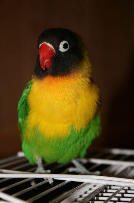 Lovebird Dakocan : Ciri-Ciri Harga dan Foto