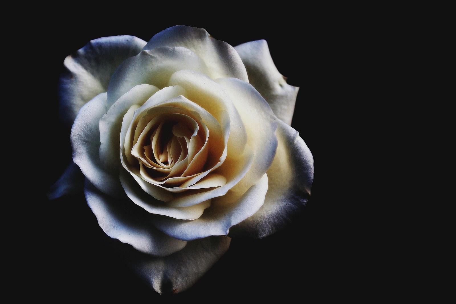bunga mawar hitam putih