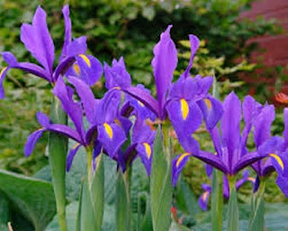 Iris flower - berbagaireviews.com