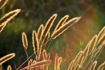 Manfaat Alang-alang untuk Pengobatan Tradisional Aneka Macam Penyakit